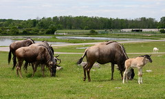 Young Wildebeest Leads the Herd (Jay Costello) Tags: africanlionsafari hamiltonon canada ca hamilton animal mammal horned hors wildebeest animalbabies africa