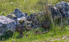 Down In The Daisies (Mac ind Óg) Tags: summer abandoned scotland farmingequipment walking àrasaig highland arisaig holiday lochaber
