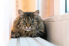 I see you (cs_one) Tags: whisker indoors portrait sit fur pet cute mammal looking kitten cat hair eye bijou domestic animal