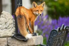 Red Fox (Rob E Twoo) Tags: wildlife nature ontario canada fox kit