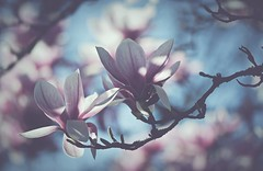 Twice... (esterc1) Tags: flores ramas árbol magnolias rosa thinkpink smileonsaturday