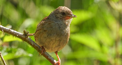 Dunnock (Pendlelives) Tags: nature wildlife countryside bird birds pendle lancashire pendlelives nikon p1000 green background blurred clear water colne trawden ornithology ball grove park brambles juvenile dunnock