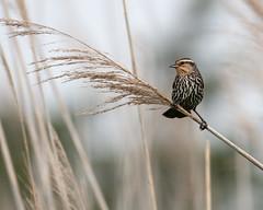 Red-winged Blackbird (Shayna Marchese) Tags: redwingedblackbird capemay higbeebeach