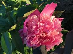 Hello from Hamilton, Ontario (Trinimusic2008 -blessings) Tags: trinimusic2008 judymeikle june 2019 hamilton ontario canada summer flower