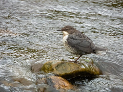 Juvenile Dipper (Pendlelives) Tags: nature wildlife countryside bird birds pendle lancashire pendlelives nikon p1000 green background blurred clear water colne trawden ornithology juvenile dipper starkie bottoms starkey river rock perched