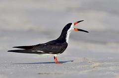 Black Skimmer (jt893x) Tags: 150600mm bird blackskimmer breeding jt893x nikon nikond500 rynchopsniger sigma sigma150600mmf563dgoshsms skimmer waterbird thesunshinegroup alittlebeauty coth coth5 ngc