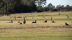 Roos (papajoesm) Tags: roo kangaroo australia hunter huntervalley wine winetasting tour june grass green travel