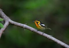 Blackburnian on a branch (rmikulec) Tags: blackburnian warbler breeding summer season sony a7riii 100400gm nature wildlife fine art yellow orange bird birding wild animal