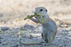 CA3I3906-Round-tailed Ground Squirrel (tfells) Tags: roundtailedgroundsquirrel mammal nature wildlife xerospermophilustereticaudus arizona tucson sweetwaterwetlands