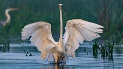 Great White Egret (Robert Cave) Tags: greatwhiteegret danubedelta