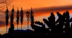 Six Yucca sunrise (jimsc) Tags: sunrise dawn sunup skyfire spring may orange silhouette yucca cholla cactus desert sonorandesert arizona tucson catalina pimacounty ngc panasonic fz200 jimsc
