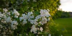 Blossom (Burnett0305) Tags: bavaria bayern blüte blüten frühling germany grün konradsreuth landkreishof landscape landschaft landschaftnatur natur nature nikonafs20mmf18g nikond850 pflanzen spring blossom blossoms country green outside plants