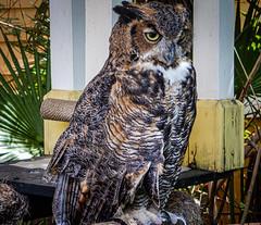 Great Horned Owl at Brevard Zoo Melbourne FL (mbell1975) Tags: melbourne florida unitedstatesofamerica great horned owl brevard zoo fl space coast us usa bird birds