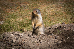 Ground Squirrel (ellieupson) Tags: banff canada alberta nationalpark mammal animal wildlife ground squirrel gopher