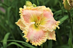 CX3A1658 (DaveH1970) Tags: plants summer june 21st 2019 missouri