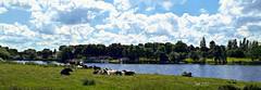 Cows in the Meadow (Jan 130) Tags: jan130 cows lake water digitalpainting topaz walkswithmarnie summer2019 powellspool suttonpark nationalnaturereserve westmidlands englanduk