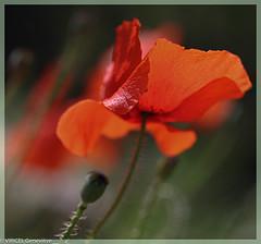 Elegance (genevièveviricel) Tags: printemps coquelicot couleur rouge saisons fleurs nature