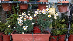 Marguerites on balcony from outside on 1st day of summer 2019 001 (D@viD_2.011) Tags: marguerites balcony from outside 1st day summer 2019