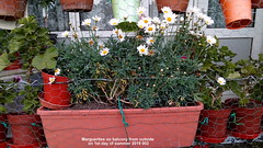 Marguerites on balcony from outside on 1st day of summer 2019 002 (D@viD_2.011) Tags: marguerites balcony from outside 1st day summer 2019