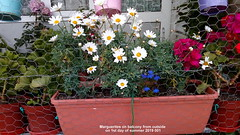 Marguerites on balcony from outside on 1st day of summer 2019 003 (D@viD_2.011) Tags: marguerites balcony from outside 1st day summer 2019