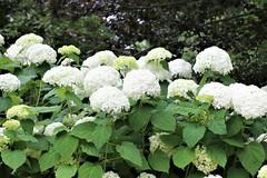 CX3A1643 (DaveH1970) Tags: plants summer june 21st 2019 missouri