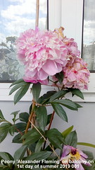 Peony 'Alexander Fleming' on balcony on 1st day of summer 2019 001 (D@viD_2.011) Tags: peony alexander fleming balcony 1st day summer 2019