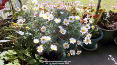 Marguerite standard on balcony on 1st day of summer 2019 (D@viD_2.011) Tags: marguerite standard balcony 1st day summer 2019
