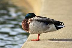 Watchful Eye 06212019 (Orange Barn) Tags: mallard mallarddrake duck wildfowl bird 119picturesin2019