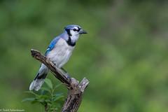 CA3I3056-Blue Jay (tfells) Tags: bluejay bird nature wildlife corvid newjersey baldpatemountain cyanocittacristata
