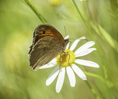 Resting Spot (A Journey With A New Camera) Tags: butterfly wings daisy wildflower flower nature meadowbrown uk