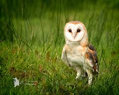 Barn owl (Lumen01) Tags: barn owl bird barnowl raptor nikon d800 on1 on1raw farmland