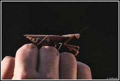 Copain-copine avec une mante religieuse (Guenever45) Tags: mantereligieuse insecte macroinsectes arthropode