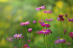 Never a Care (Beve Brown-Clark) Tags: floral lower flowers daisy nature garden ©bevebownclark