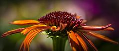 Colorful (K&S-Fotografie) Tags: flower color farben sommer pflanzen blumen park summer beautyful