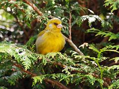 20190601-150558-00169A-Goldammer (hugoholunder) Tags: busch vogel grünling tirol alpbachtal österreich sonne hecke