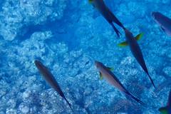 Poissons marins depuis la barque vitrée (8) (8pl) Tags: poissons eau mer bleu jaune océan japon okinawa fonds fondsmarins maritime
