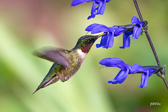 Ruby-throated Hummingbird (jt893x) Tags: male bird nikon hummingbird sigma d500 bif rubythroatedhummingbird archilochuscolubris nikond500 150600mm sigma150600mmf563dgoshsms jt893x thesunshinegroup coth alittlebeauty coth5 ngc
