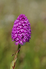 Life in the hedgerows (favmark1) Tags: kent hedgerows orchids flowers britishorchids wildorchids kentorchids pyramidalorchids anacamptispyramidalis
