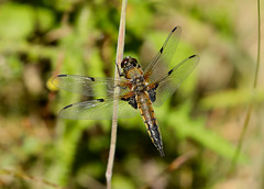 Four-spotted Chaser --- Libellula quadrimaculata (creaturesnapper) Tags: insects uk europe odonata dragonflies libellulidae fourspottedchaser libellulaquadrimaculata
