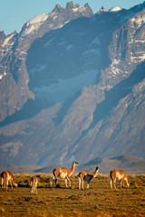Breakfast with Guanacos (Glatz Nature Photography) Tags: nikond850 wildanimals wild wildlife mammals animals glatznaturephotography torresdelpaine magallanes patagonia chile southamerica lamaguanicoe guanaco