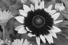Sunflower Bright - Really (Modkuse) Tags: sunflower flower flowers art artphotography artistic fineartphotography fineart photoart nopostprocessing acros acrossimulation xt2acros fujifilmxt2acrossimulation nature natural macro macrophotography macrolens macroflower monochrome bw blackandwhite 80mm xf80mmf28rlmoiswrmacro xf80mmf28rlmoiswrmacrolens fujinonxf80mmf28rlmoiswrmacro fujifilm fujifilmxt2 fujinon xt2