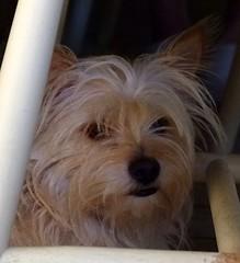 Sparkles - Head Shot (Key West Wedding Photography) Tags: sparkles pet pets dog dogs canineamerican canines keywest florida cayobo helenbo