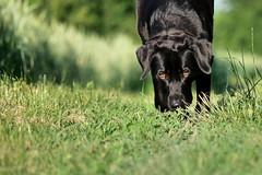 read news (uwe.kast) Tags: labrador labradorretriever labradorredriver hund haustier dog news read wiese lesen panasonic lumix g9