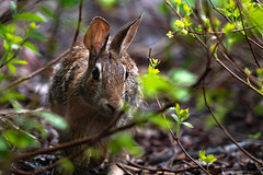Eastern Cottontail 03 (cypher40k Photography) Tags: 200500 animal animals color colour cottontail eastern easterncottontail nature nikon nikond500 rabbit toronto wild wildlife