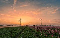 In Holland we make our own wind using a lot of big fans. (Alex-de-Haas) Tags: 1635mm d500 dutch europa europe holland nederland nederlands netherlands nikkor nikkor1635mm nikon nikond500 noordholland agriculture akkerbouw beautiful beauty bloemen bloemenvelden boerenland bollenvelden bulbfields carbonneutral electricity elektriciteit energie energy farmland farming flowerfields flowers groenestroom landbouw landscape landscapephotography landschaft landschap landschapsfotografie lente lucht mooi polder pracht renewable renewableenergy renewables schoonheid skies sky spring sundown sunset tulip tulips tulp tulpen wind windenergy windfarm windpark windpower windturbine windenergie windmolen windmolenpark zonsondergang burgerbrug northholland