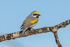 Golden-winged Warbler (Joe Branco) Tags: green ontario canada macro bird grass birds photoshop wildlife lightroom nature branco joe wildlifephotographer goldenwingedwarbler nikond850 joebrancophotographer