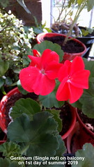 Geranium (Single red) on balcony on 1st day of summer 2019 (D@viD_2.011) Tags: geranium single red balcony 1st day summer 2019