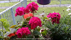 Geranium (Double cerise) on balcony on 1st day of summer 2019 (D@viD_2.011) Tags: geranium double cerise balcony 1st day summer 2019