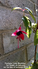 Fuchsia 'Lady Boothby' 1st flower on balcony on 1st day of summer 2019 (D@viD_2.011) Tags: fuchsia lady boothby 1st flower balcony day summer 2019