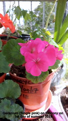Geranium (Single pink) on balcony on 1st day of summer 2019 (D@viD_2.011) Tags: geranium single pink balcony 1st day summer 2019